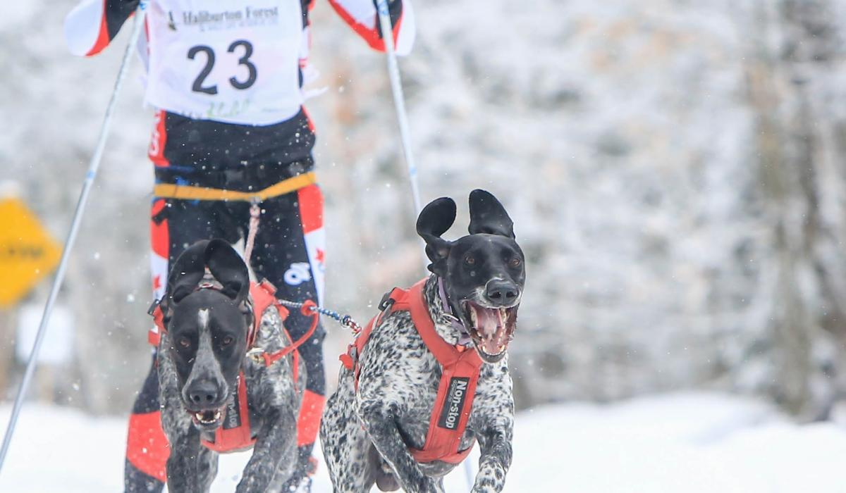 skijoring outside in Haliburton