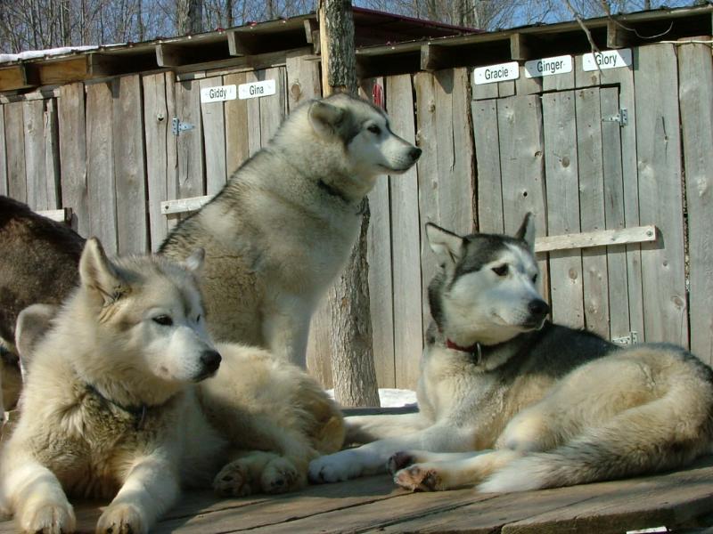 Dogs at Haliburton Forest